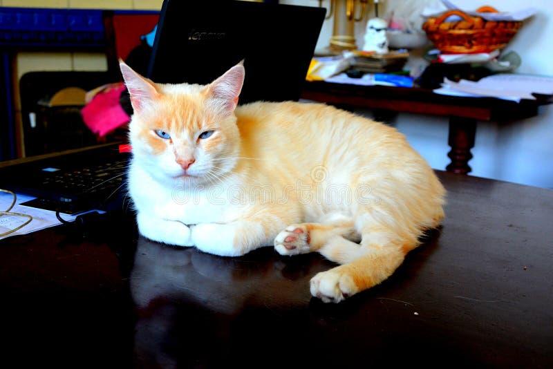 Gatto bianco elegante immagine stock libera da diritti