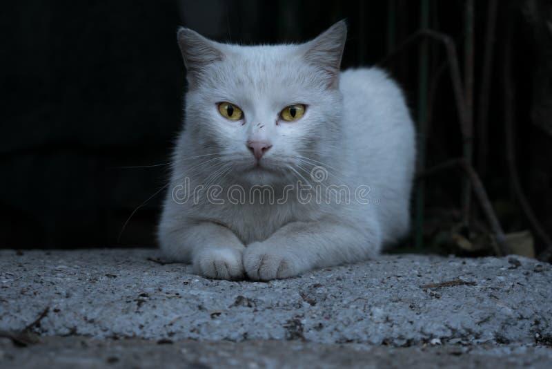 Gatto bianco elegante Espressione, animali fotografia stock