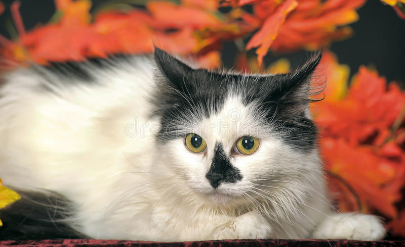 Gatto bianco lanuginoso con i punti neri su un fondo delle foglie di autunno fotografie stock