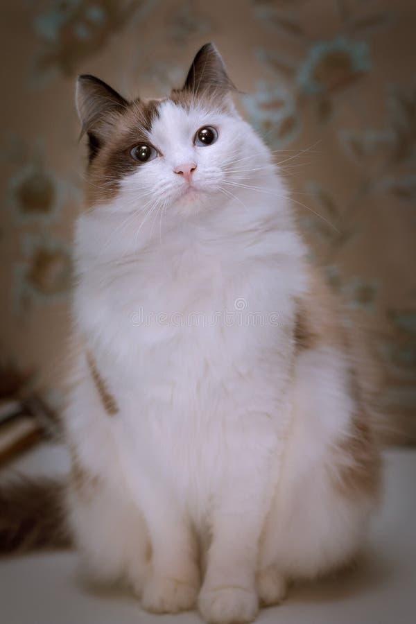 Gatto bianco lanuginoso con le orecchie marroni e la coda che si siedono su una tavola fotografia stock