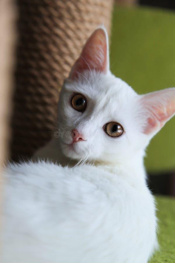 Gatto bianco nel complesso di gioco per i gatti Un'illustrazione di un condominio/casetta per giocare del gatto con i giocattoli  fotografie stock