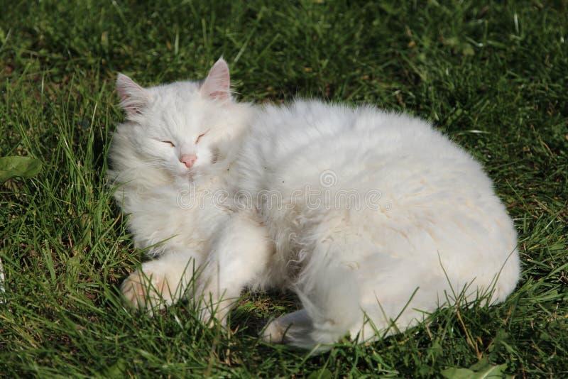 Gatto bianco nell'erba fotografie stock