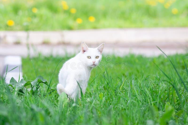 Gatto bianco nell'erba fotografia stock libera da diritti