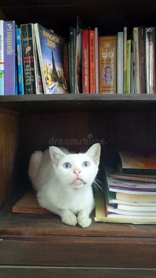 Gatto bianco nella biblioteca dello scaffale per libri fotografia stock libera da diritti