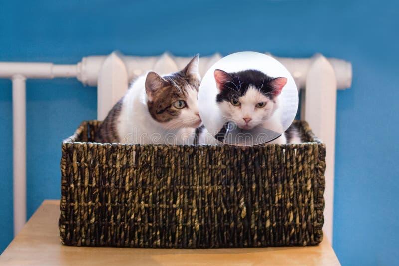 gatto bianco Nero con il collare medico di plastica e gatto di soriano bianco che si siede nel letto del gatto vicino al radiator fotografia stock