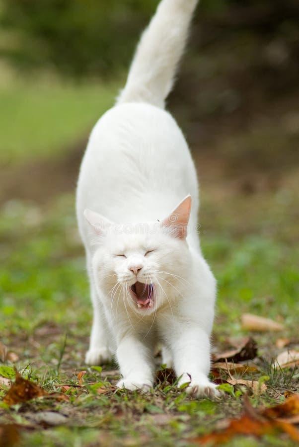 Gatto bianco puro che sbadiglia immagini stock