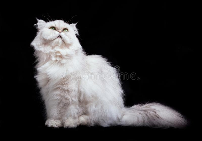 Gatto bianco simile a pelliccia sveglio con la coda simile a pelliccia lunga, sedentesi e cercante, vista frontale, isolata sul f immagine stock