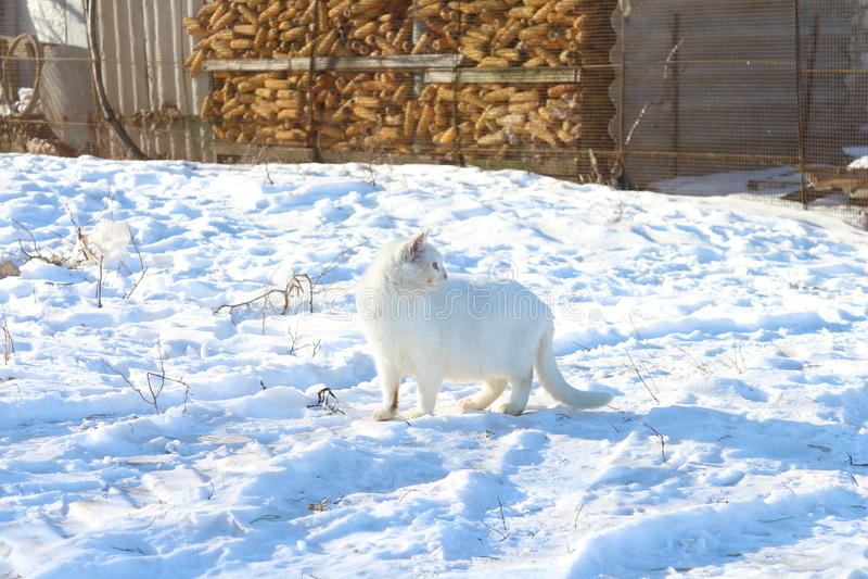 Gatto bianco - su neve bianca fotografia stock libera da diritti