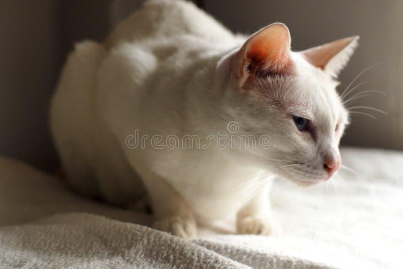 Gatto bianco sulla festa bianca del letto insieme fotografia stock