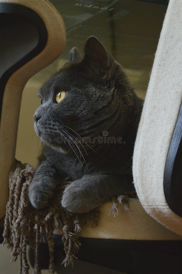 Gatto blu di Shorthair fotografia stock