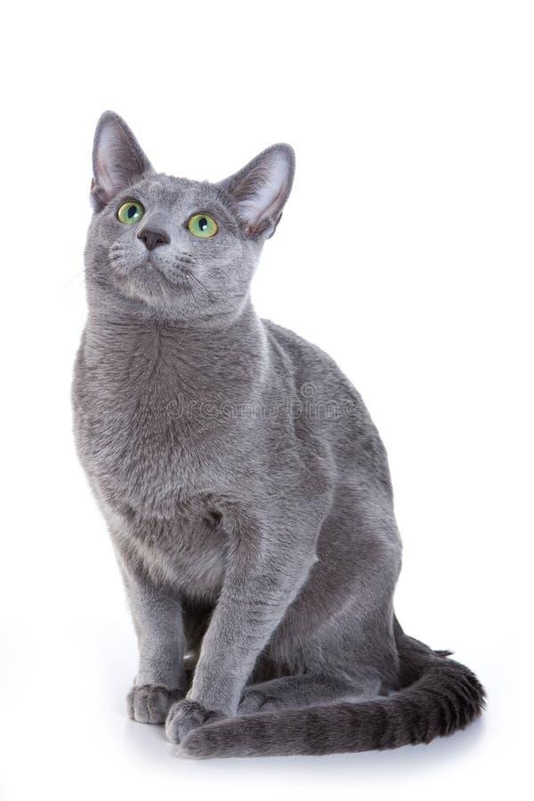 Gatto blu russo fotografia stock libera da diritti