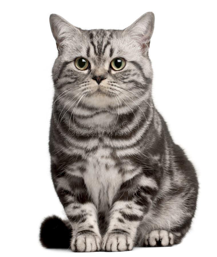 Gatto brasiliano di Shorthair, 1 anno, sedentesi fotografia stock