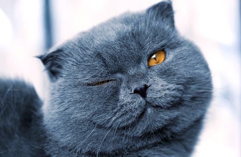 Gatto britannico immagini stock libere da diritti
