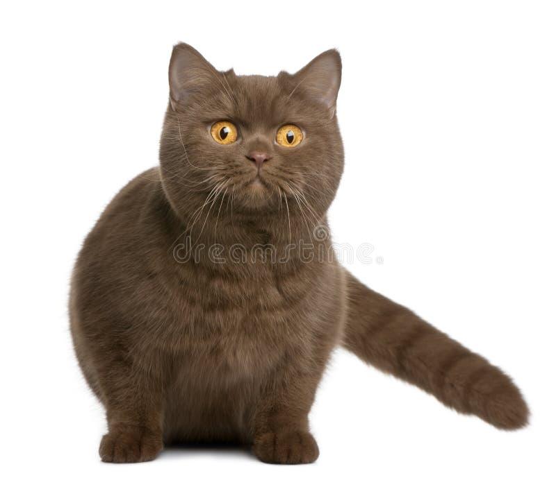 Gatto britannico dello shorthair, 1 anno immagini stock libere da diritti