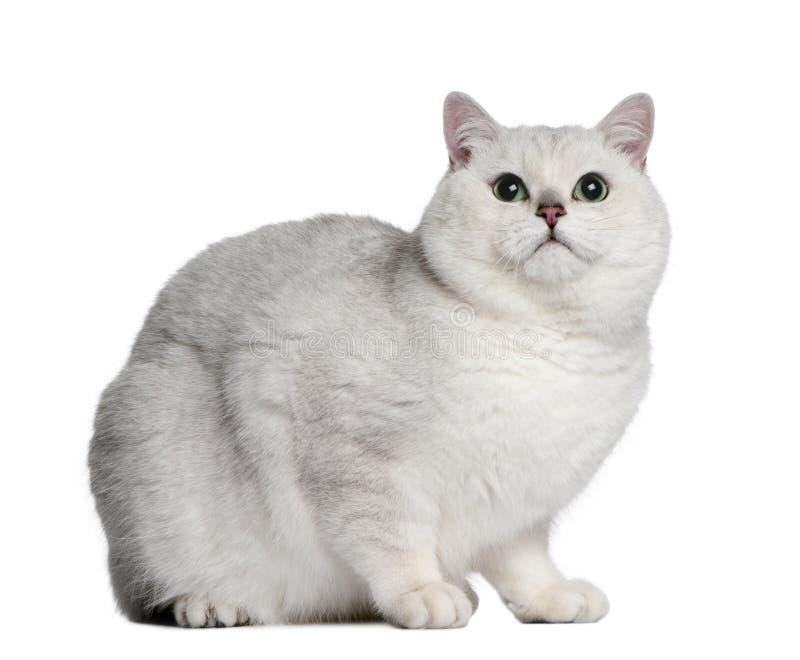 Gatto britannico dello shorthair, 2 anni immagine stock libera da diritti