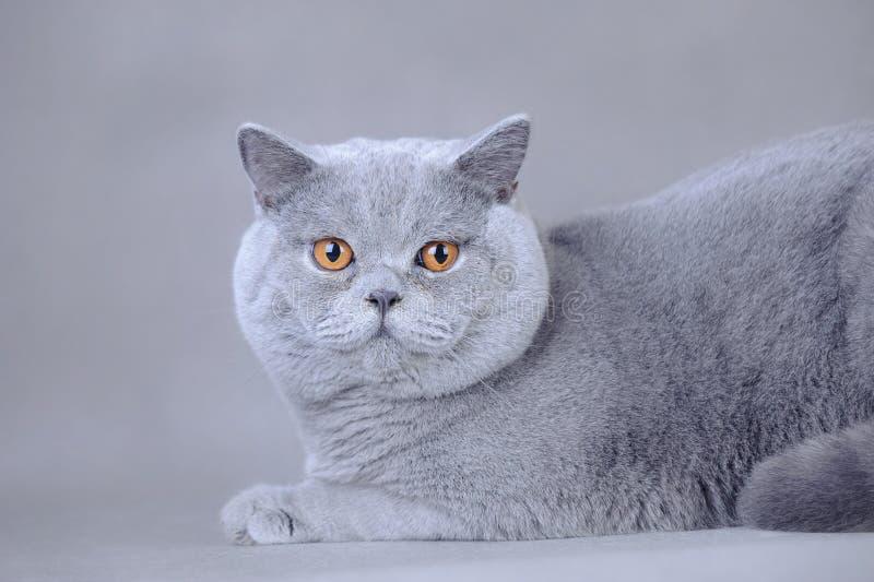 Gatto britannico dello shorthair immagini stock