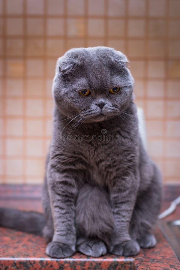 Gatto britannico dello shorthair che si siede nella cucina moderna fotografia stock libera da diritti