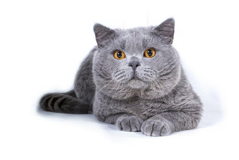 Gatto britannico dello shorthair con gli occhi arancio luminosi Isolato su priorit? bassa bianca immagini stock