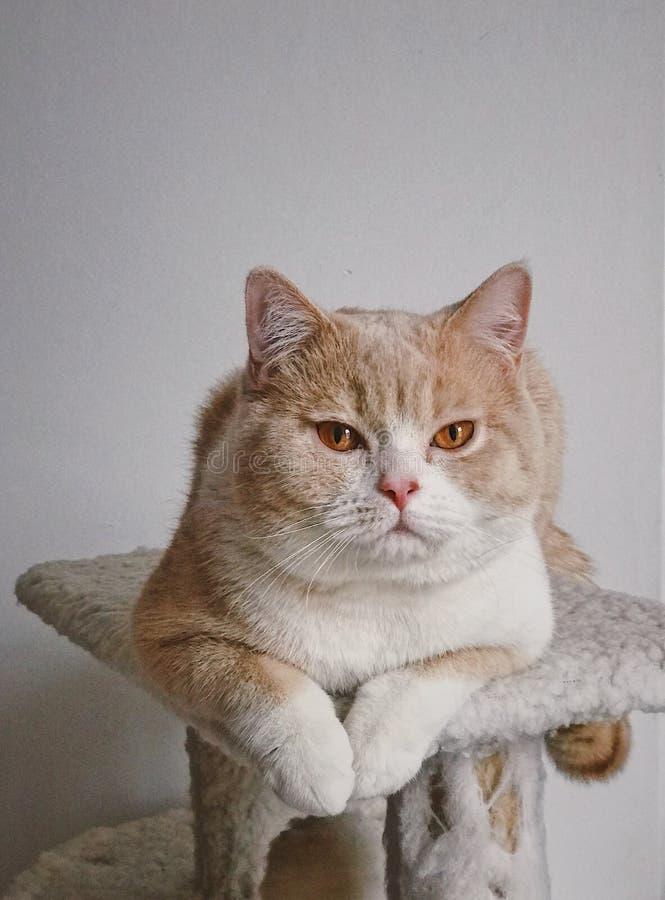 Gatto britannico dello shorthair con i grandi occhi fotografie stock libere da diritti