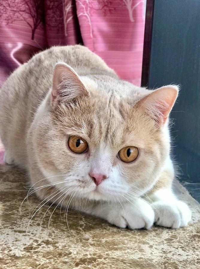 Gatto britannico dello shorthair con i grandi occhi fotografie stock