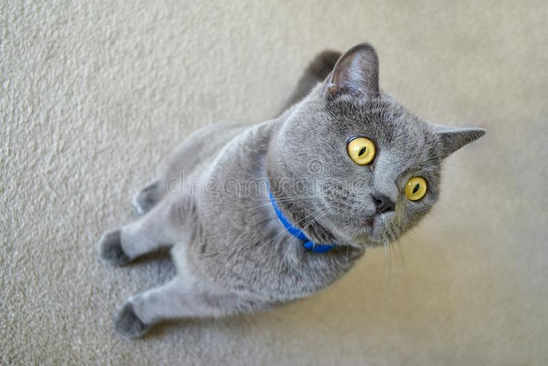Gatto britannico dello shorthair con pelliccia grigia blu immagine stock libera da diritti