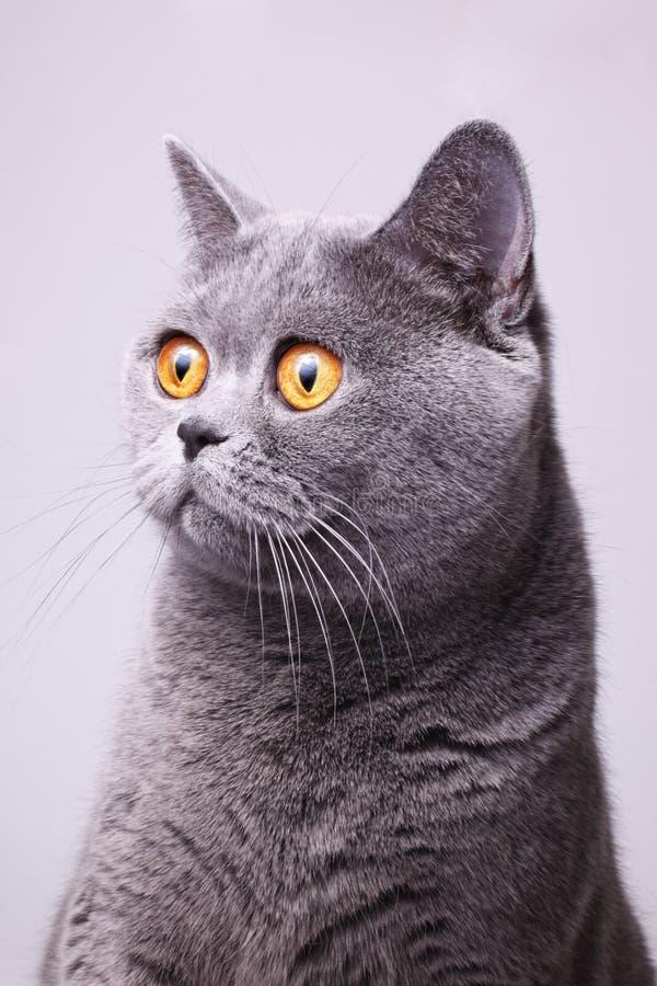 Gatto britannico dello shorthair grigio con gli occhi gialli luminosi fotografia stock