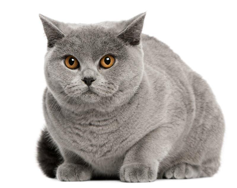 Gatto britannico di Shorthair, 8 mesi, sedentesi fotografie stock libere da diritti