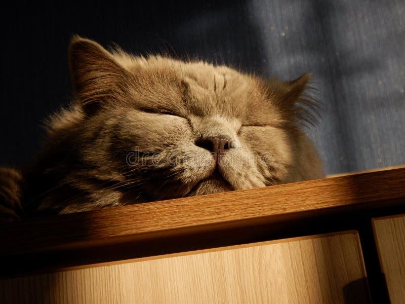 Gatto britannico di Shorthair fotografia stock