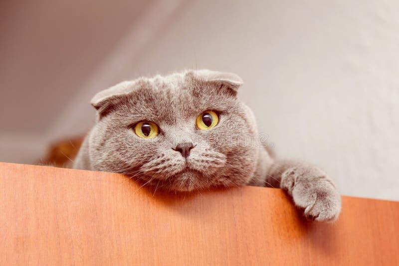 Gatto britannico di Shorthair immagini stock libere da diritti