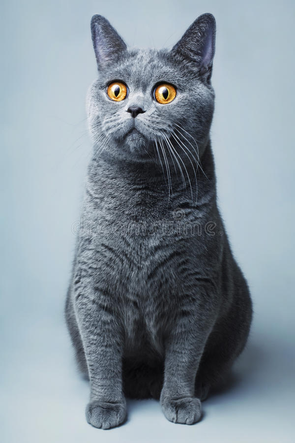 Gatto britannico grigio della casa di funnyl di Beautifu immagine stock libera da diritti