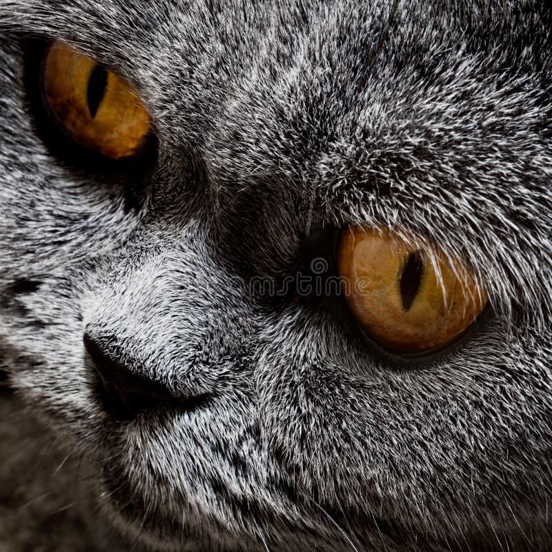 Gatto britannico grigio divertente fotografie stock libere da diritti
