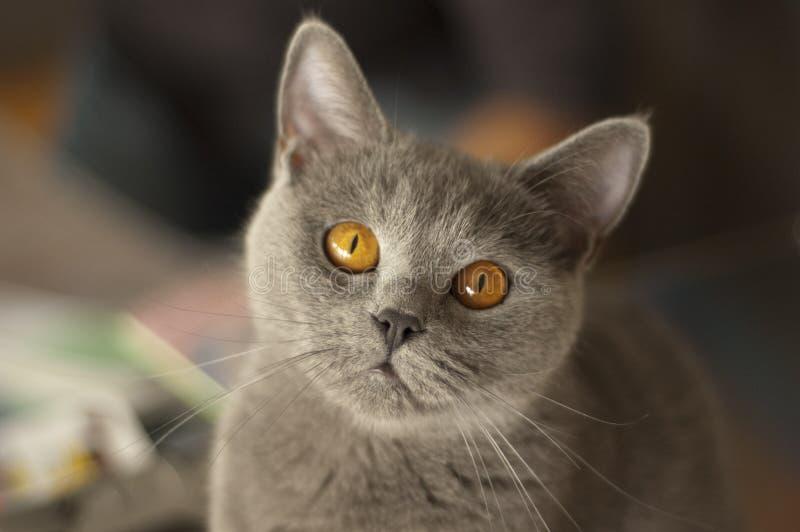 Gatto britannico sveglio dello shorthair che fissa alla macchina fotografica fotografia stock