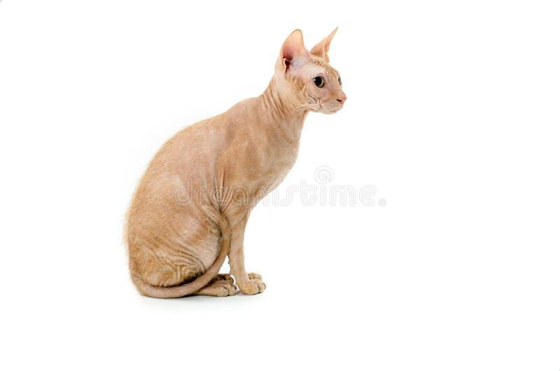 Gatto, canadese Sphynx, fine su, isolato su fondo bianco immagini stock libere da diritti