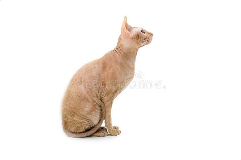 Gatto, canadese Sphynx, fine su, isolato su fondo bianco fotografia stock libera da diritti