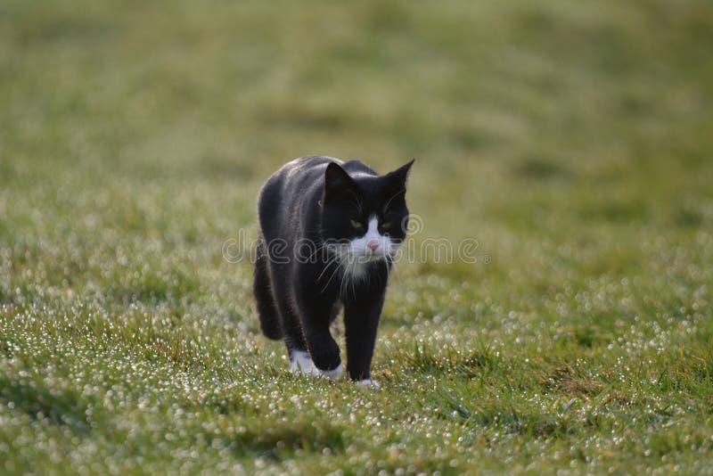 Gatto che cammina nei Paesi Bassi immagini stock