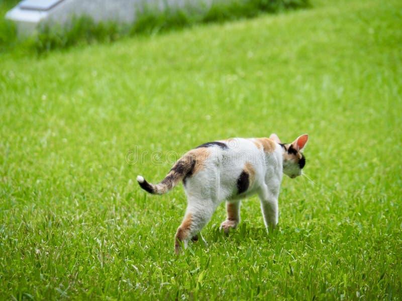 Gatto che cammina sull'erba verde fotografie stock libere da diritti