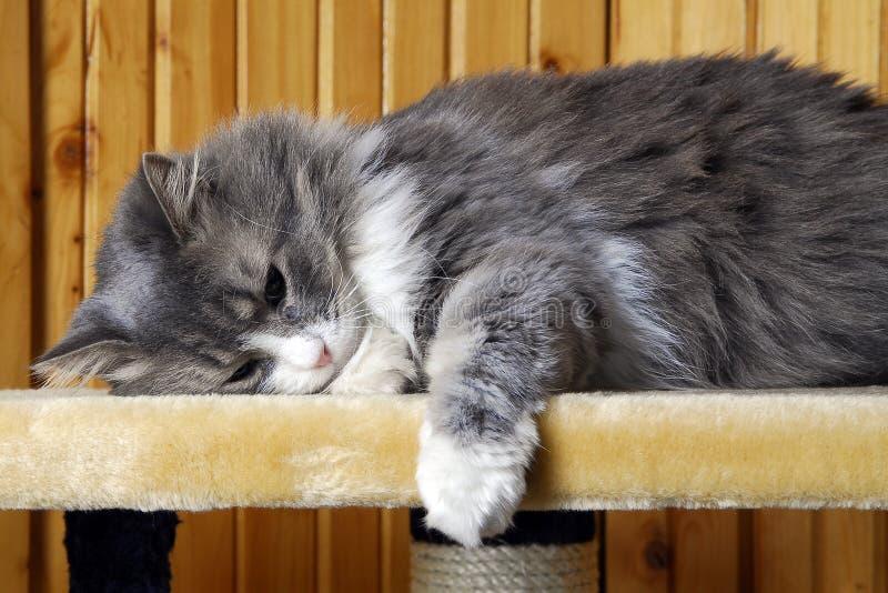 Gatto che cattura un pelo fotografia stock