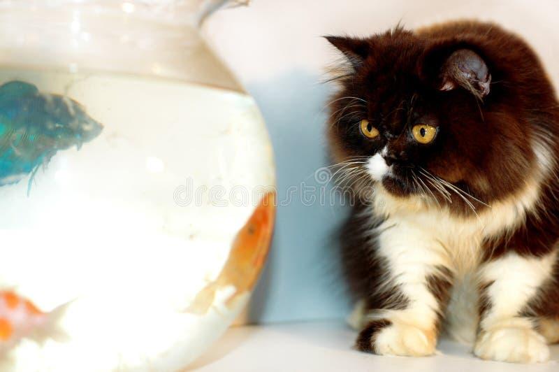 Gatto che esamina i pesci 3 dell'oro fotografia stock libera da diritti