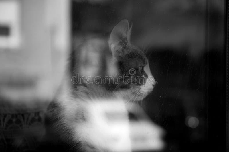 Gatto che guarda in tutto la finestra immagini stock