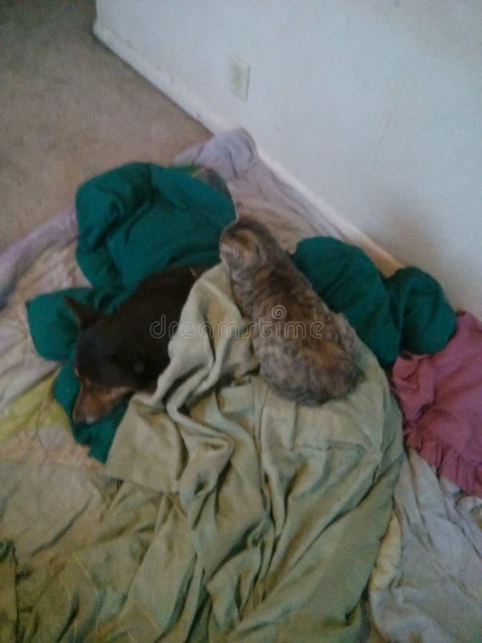 Gatto che mette su cane fotografie stock libere da diritti