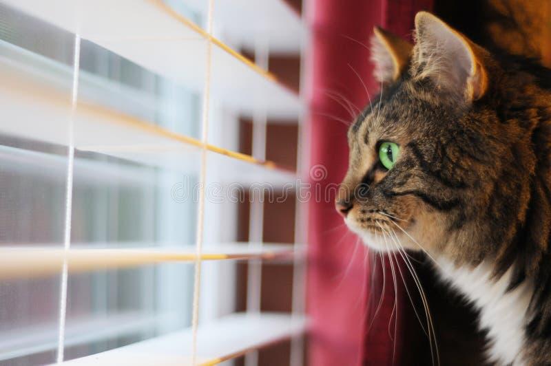 Gatto che osserva fuori finestra il giorno fotografia stock libera da diritti