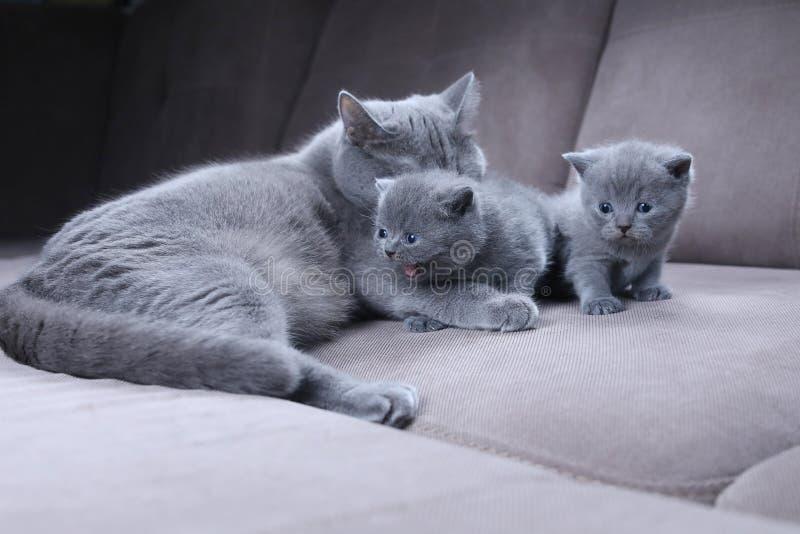 Gatto che prende cura dei suoi gattini sullo strato immagine stock libera da diritti