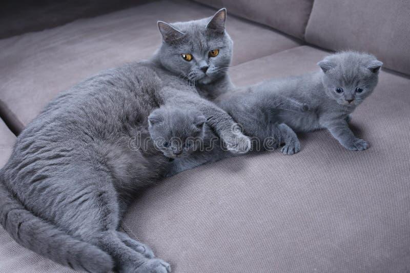 Gatto che prende cura dei suoi gattini sullo strato immagini stock