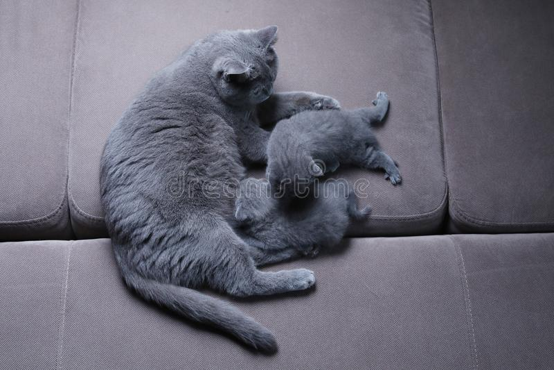 Gatto che prende cura dei suoi gattini sullo strato immagini stock libere da diritti