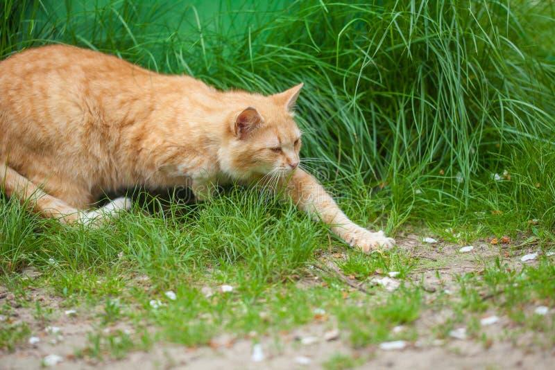 Gatto che rubacchia sull'erba fotografia stock
