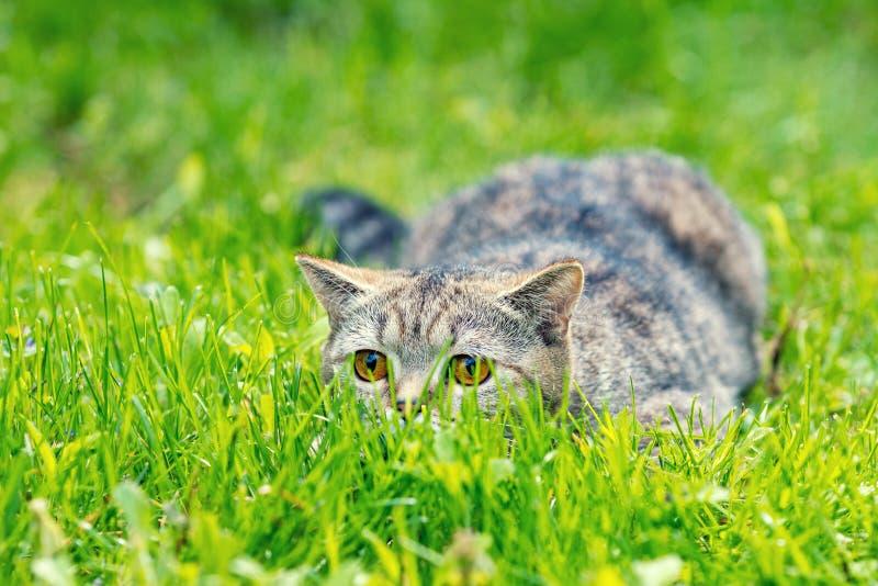 Gatto che si nasconde nell'erba fotografia stock libera da diritti