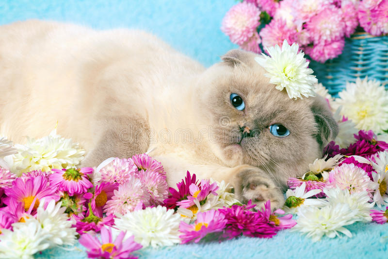 Gatto che si rilassa sulla coperta blu immagini stock libere da diritti