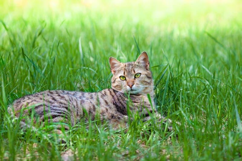 Gatto che si trova nell'erba immagini stock
