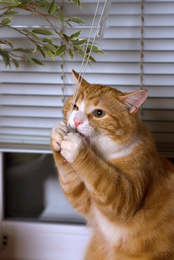 Gatto che si trova sulla finestra Resti dell'animale domestico Gatto lanuginoso che mastica su un flowe fotografie stock