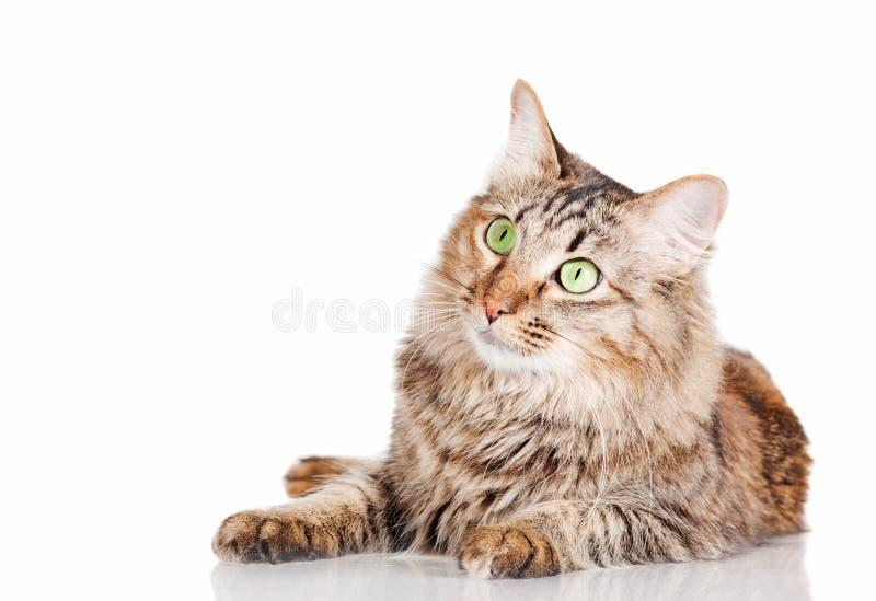 Gatto che si trova sulla tabella di vetro immagine stock